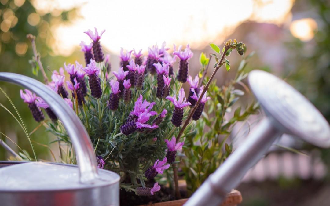 Lawenda w domu – jak o nią dbać?